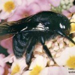 Xylocopa Californica (California Carpenter Bee)