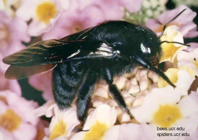 Xylocopa Californica California Carpenter Bee